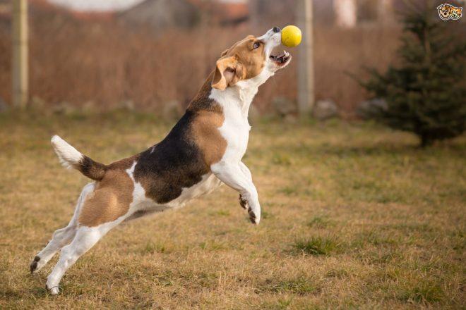 собака ловит мячик