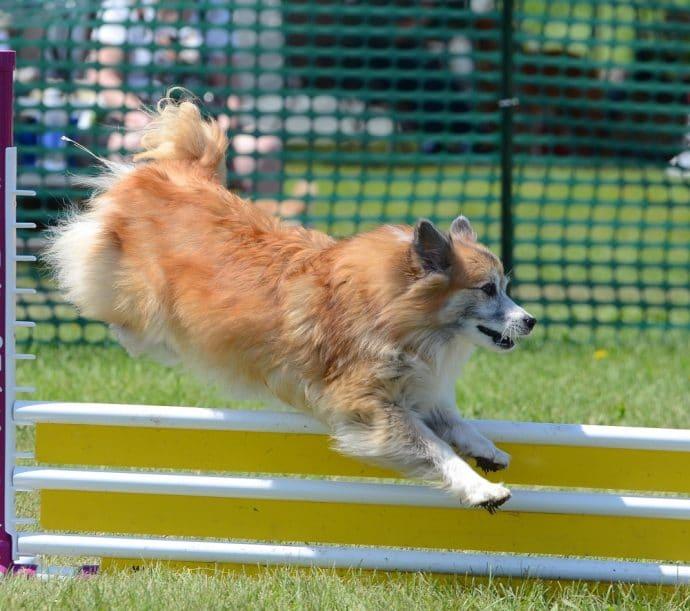 исландская собака рыжего цвета