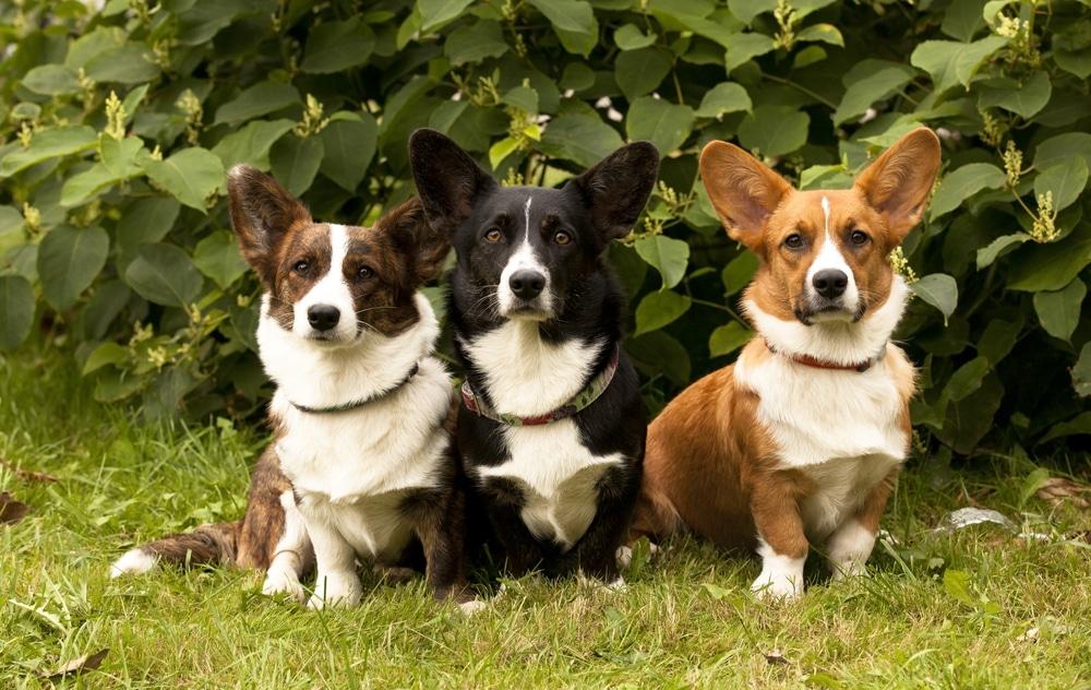 три корги сидят на траве