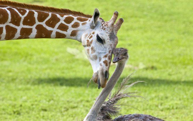 жираф и страус