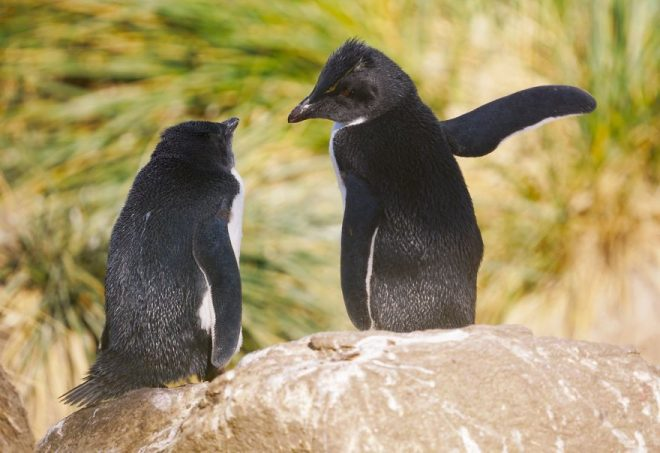 пингвины рис 2