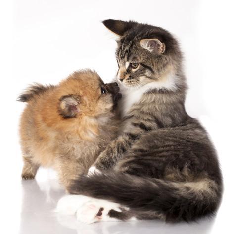 шпиц и котенок