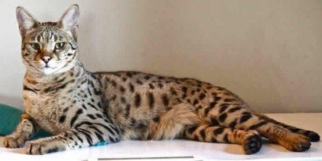 кошка саванна
