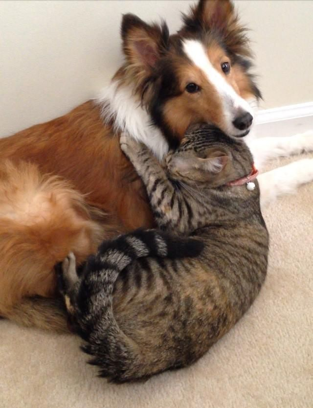 шелти и кот