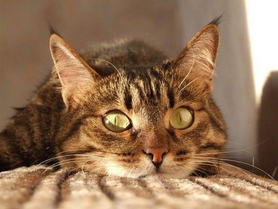 полосатая кошка с красивыми глазами