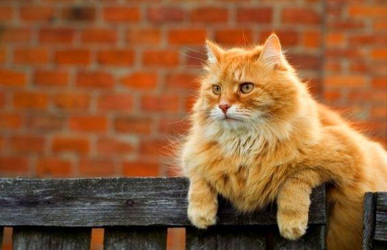 рыжий кот на заборе