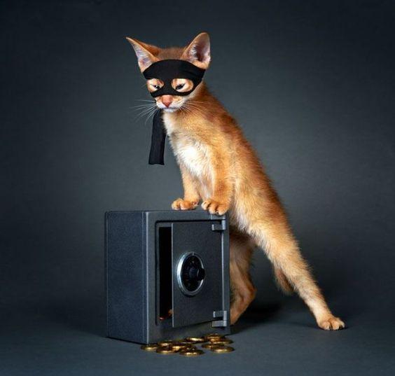 абиссинская кошка рис 4