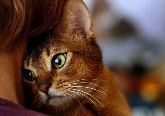 абиссинская кошка рис 8