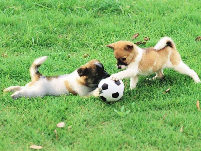 собаки с мячем