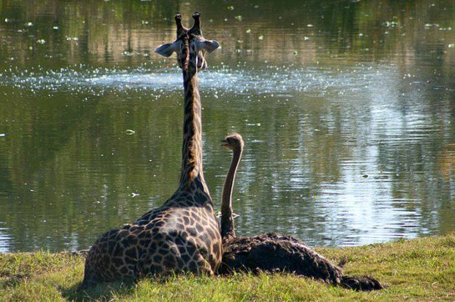 страус и жирафа