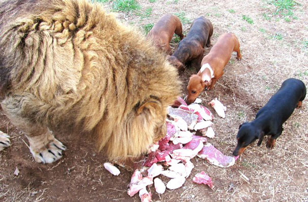 лев и собаки