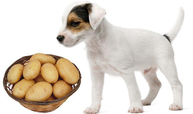 картошка и песик