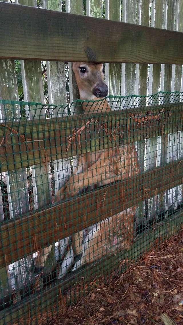 олень застрял в заборе рис 2