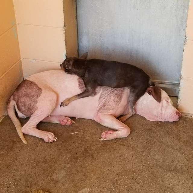 две собаки отдыхают рис 2