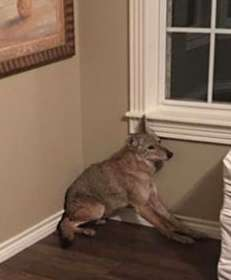койот в комнате