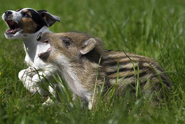 свинка и песик