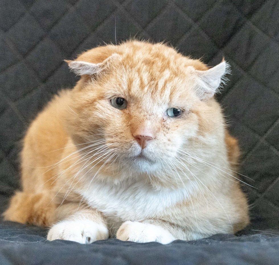 упитанный рыжий кот