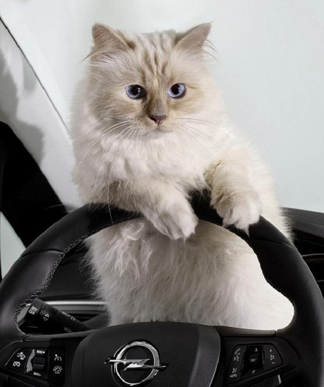 Кошка за рулем