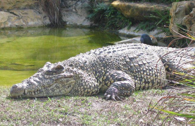 Крокодил лежит