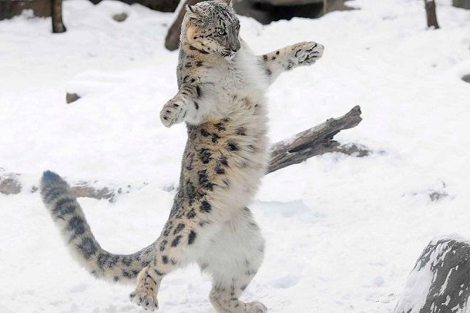 Большая кошка и снег