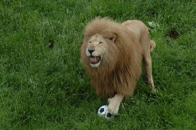 Лев играет