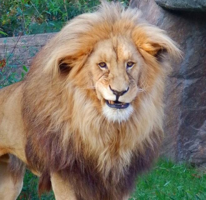 Большой лев