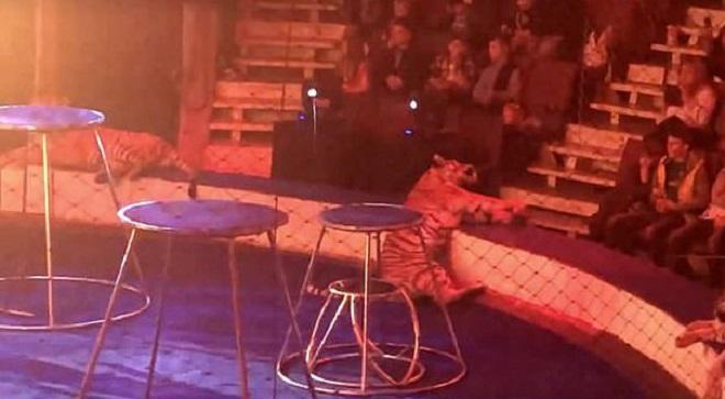 Тигрица на арене