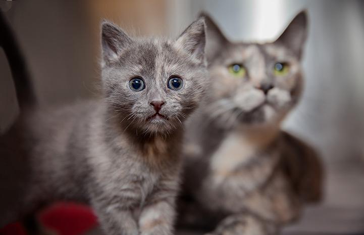 серая кошка с котенком