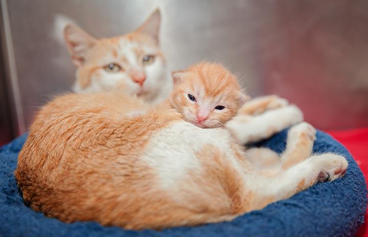 рыжие кошка и котенок