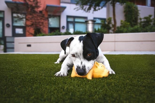 Собака грызет игрушку