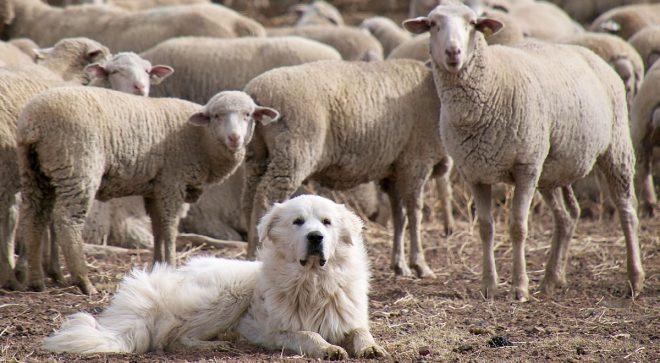 Собака и овцы