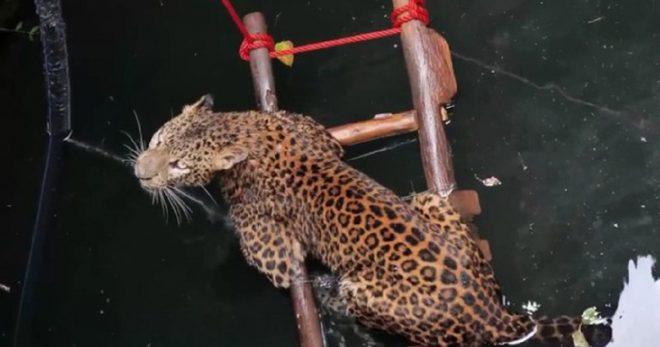 Леопард держится на воде