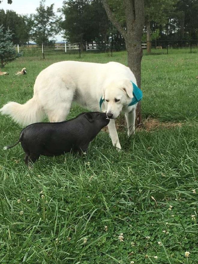 Собака со свинкой