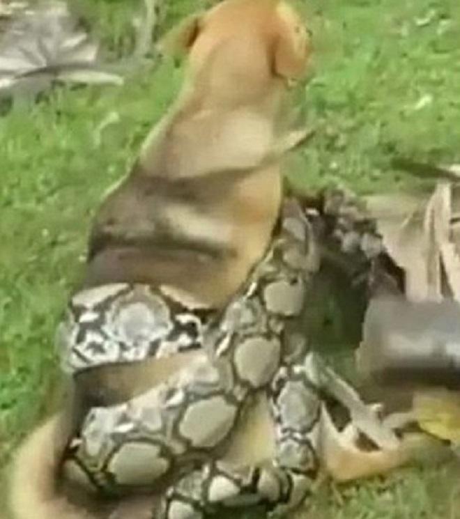 Змея обмотала собаку