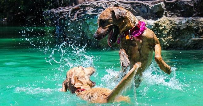 Собаки в воде