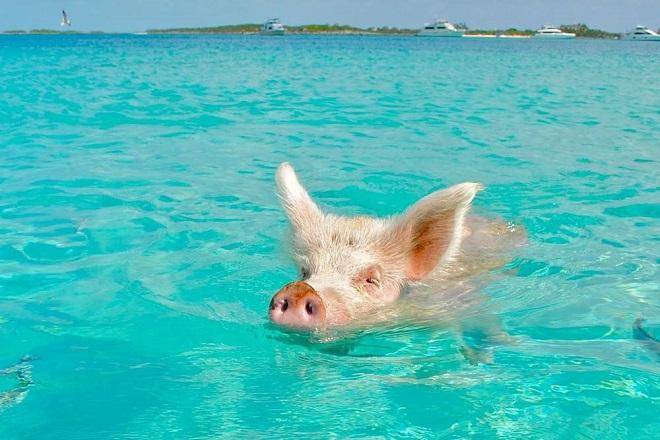 Свинка в воде