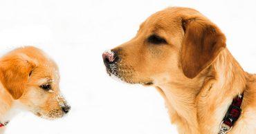puppy vs adult pooch