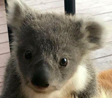 спасение коалы