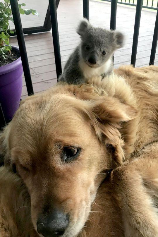 собака и коала