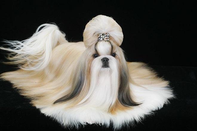 Собака с прической
