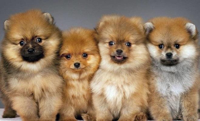 Пушистые щенки