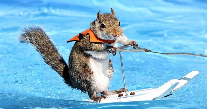 Белка на водных лыжах