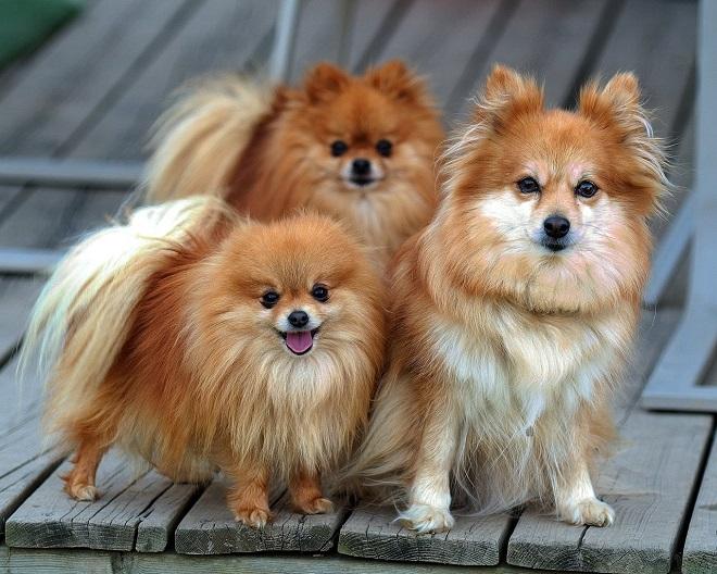 Рыжие собакчи