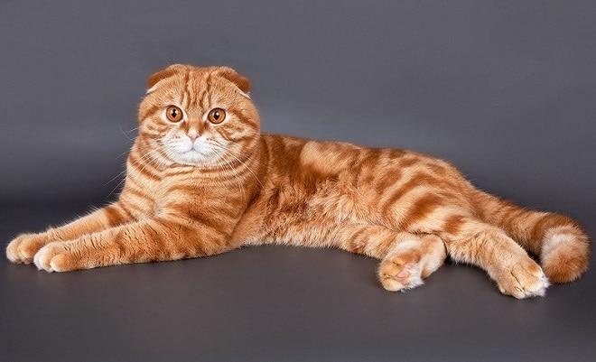 Рыжий большой кот