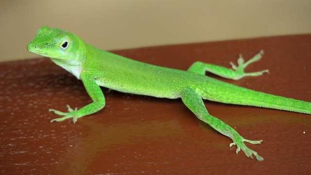 геккон сидит на столе