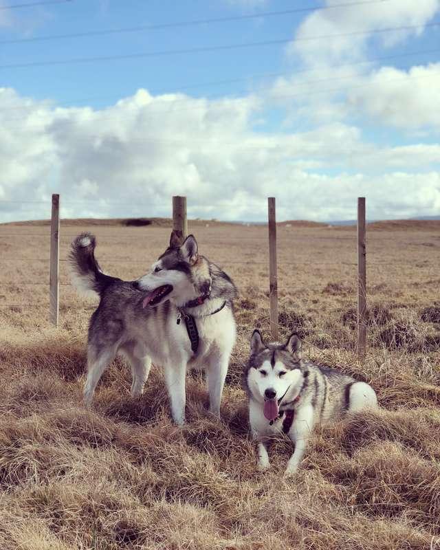 собаки посреди поля