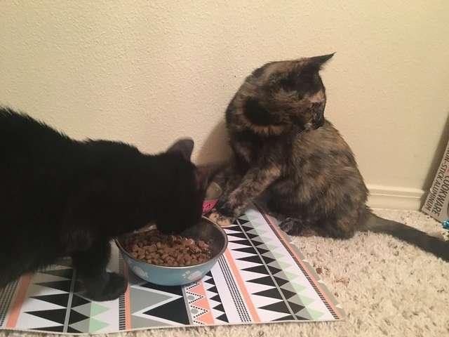коты едят из одной миски