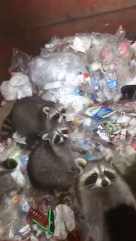 еноты в мусорнике