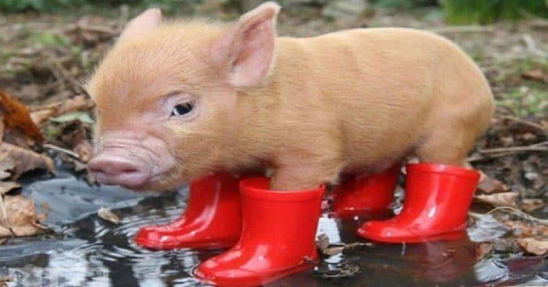 Сute piggy