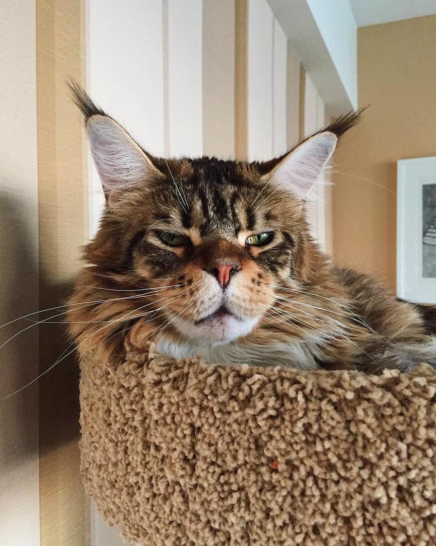 кот мейн-кун на диване